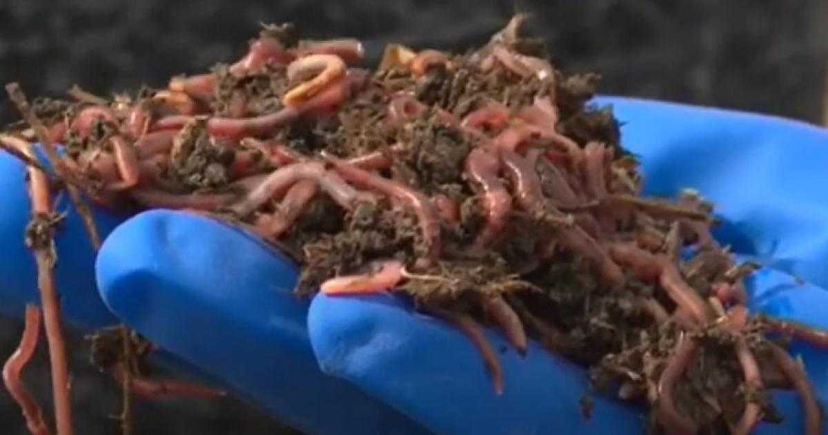 На Київщині фермер розводить черв'яків та отримує натуральні добрива (ВІДЕО)